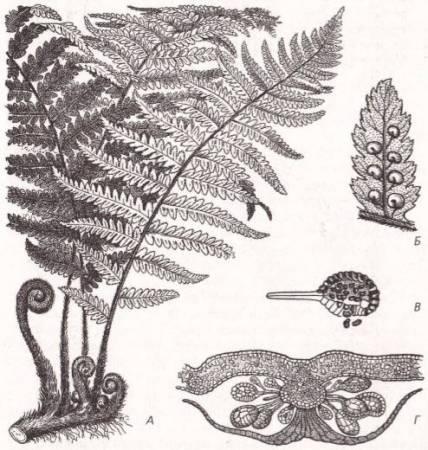Гортензия (Гидрангея), (Hydrangea)